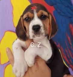 Título do anúncio: Beagle padrão da raça com pedigree e recibo. Filhote com garantias
