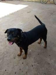 Rottweiler para cruzar ..., Leia a descrição