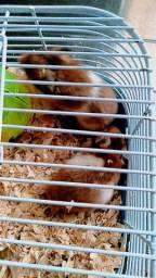 Título do anúncio: Vendo hamsters