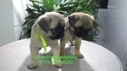 Título do anúncio: Pug filhotes com pedigree CBKC