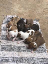 Vendo filhotes de American pit bull terrier