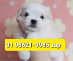 Título do anúncio: Canil Lindos Filhotes Cães BH Maltês Lhasa Beagle Yorkshire Shihtzu Basset