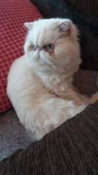 Lindo gato persa excelente padrão e genética