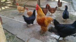 Galinha caipira e ovos de quintal