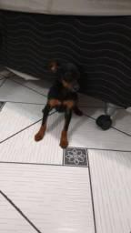 Cãozinho raça Pintcher pequeno