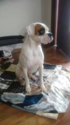 Boxer Puro