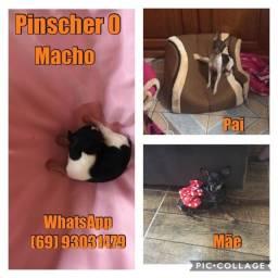 Pinscher 0 (zero), filhotes minúsculos