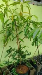 Vendo de mangua adem