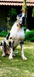 Dogue Alemão Gigante disponível para cruza com ótimo Pedigree CBKC
