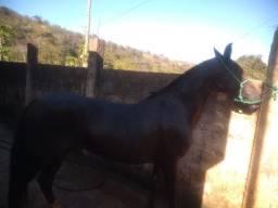Égua mangalarga registrada top