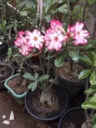 Vendo sementes Rosa do Deserto