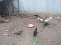 Vendo estes lotes de galinhas caipiras.