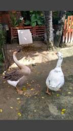 3 gansos