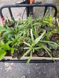 Plantas Variadas(Jardinagem)