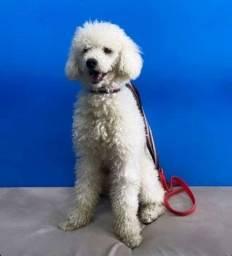 Título do anúncio: Doação de cachorrinho  macho, raça Poodle