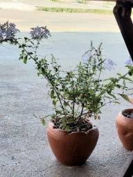 Título do anúncio: Planta Bela Emília