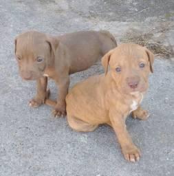 Vendo filhotes de American Pitbull terrier