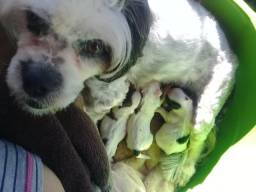 Cachorro lhiasa apso