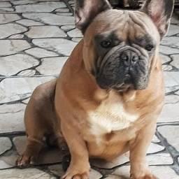 Bulldog Francês Blue Fawn