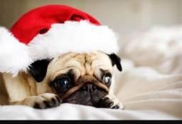Reserve o seu pug de Natal, excelente linhagem com CBKC