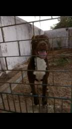 Vendo este pitbull. 700 valor negociável