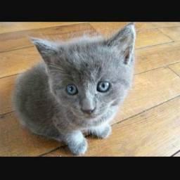 DOAÇÃO DE GATINHOS são filhotes de uma gata da raça Chartreux