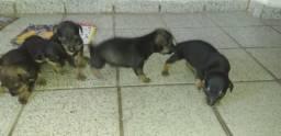Vendo cachorros pinscher