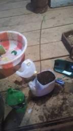 Vendo mudas de abacate