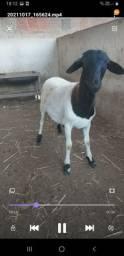 Título do anúncio: Vendo Borrego cabeça preta Duper excelente para reprodutor retirada só na Caucaia