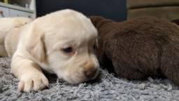 Labrador 24 dias de nascido