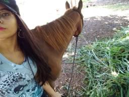 Cavalo pitisso