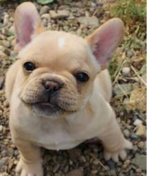 Machinho Bulldog francês com pedigree e vacina importada