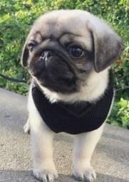 Pug porte pequeno filhote com pedigree e garantia e Saude