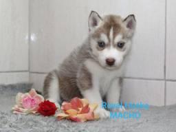 Machinhos Pronto para entrega Husky Siberiano