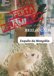 Título do anúncio: Esquilo da Mongólia