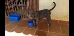 Filhotes de cane corso italiano