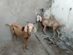 Vendo duas cabras prenha