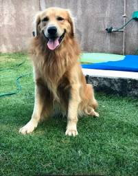 Golden retriever macho para cruza