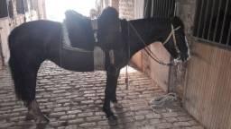 Égua criola registrada