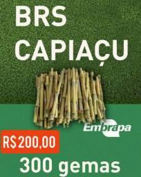 Capiaçu - Capim volumoso da Embrapa
