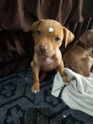 Título do anúncio: Pitbull terrier red nose fêmea