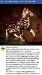Bengal marble filhote com pedigree