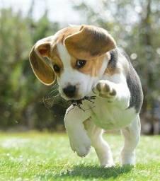 Beagle venha conferir nossos filhotes