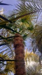 Palmeira Trachycarpus fortunei - Moinho de Vento Grande