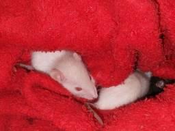Título do anúncio: Ratinhos de raça twister 5 reais