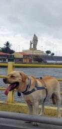 Labrador com pedigre