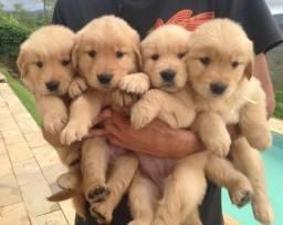 Vendo filhotes de Golden
