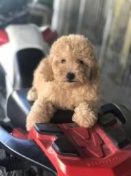Poodle toy(tamanho 0)