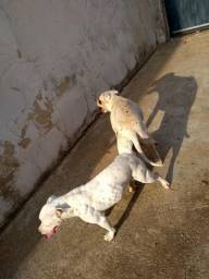 Pitbull filhote 45 dias macho vacina importada