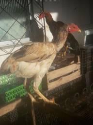galinha india gigante pronta pra primeira postura